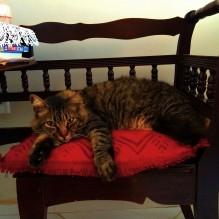 gato gonçalo deitado na cadeira do telefone casa da mamãe pose 2 invertida